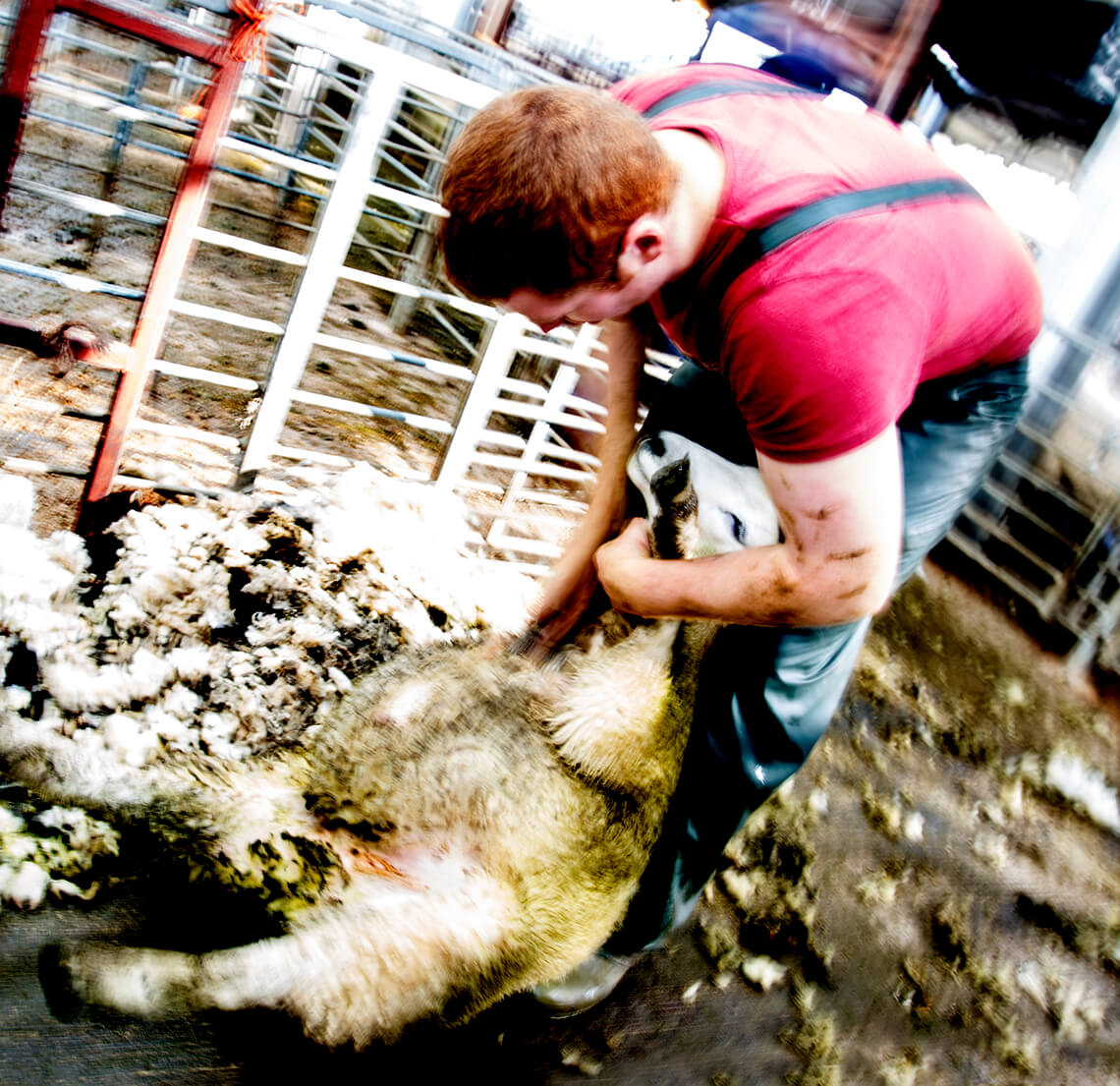 Sheep shearer up to his elbows - Gisburn farmers market